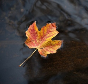 floating_maple_leaf_by_elmsphotography-d3izl9s (1)